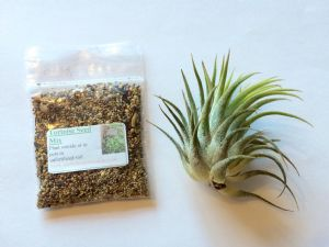*OFFER* 1x Airplant plus FREE 1000 tortoise seeds or dandelion seeds- FREE 1st class post